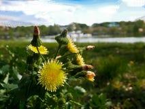 Fleurs de Yelow sur le pré vert, photographie stock
