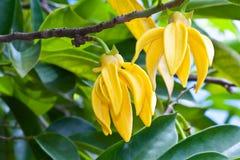 Fleurs de ylang-ylang Photographie stock libre de droits