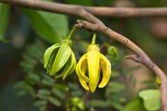 Fleurs de ylang-ylang Images libres de droits