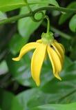 Fleurs de ylang-ylang Photos stock