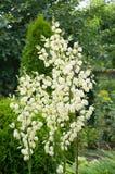 Fleurs de yucca de floraison Photographie stock libre de droits
