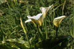 Fleurs de zantedeschia Image libre de droits