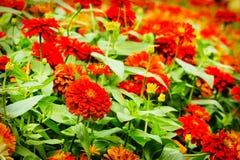 Fleurs de Zinnia Photos libres de droits