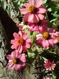 Fleurs de Zinnia images stock