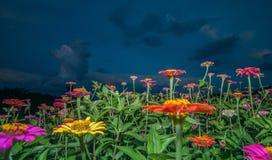 Fleurs de Zinnia dans l'aube Photographie stock libre de droits