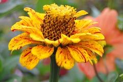 Fleurs de Zinnia sur le fond naturel images libres de droits