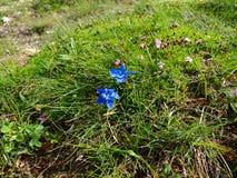 Fleurs des Alpes Images libres de droits