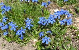 Fleurs des Alpes Image stock