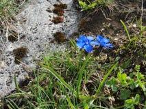 Fleurs des Alpes Photos libres de droits