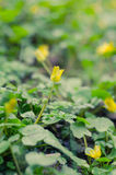 Fleurs des crocus jaunes en premier ressort Photographie stock libre de droits