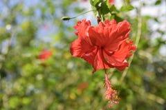 Fleurs des ketmies et d'un x28 rouges ; rose& chinois x29 ; photographie stock