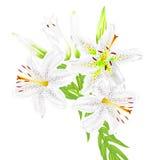 Fleurs des lis blancs sur un fond blanc Image libre de droits