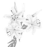 Fleurs des lis blancs sur un fond blanc Photo stock