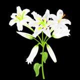 Fleurs des lis blancs sur un fond noir Photos libres de droits