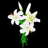 Fleurs des lis blancs sur un fond noir Photo libre de droits
