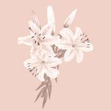 Fleurs des lis blancs sur un fond rose Photographie stock libre de droits