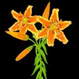Fleurs des lis oranges sur un fond noir Image stock