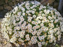 Fleurs des marguerites sauvages typiques du ressort Photos stock