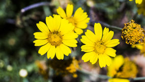 Fleurs des montagnes de Jérusalem Photo stock