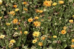Fleurs des officinalis de Calendula de souci commun photos libres de droits