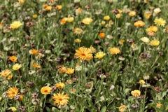 Fleurs des officinalis de Calendula de souci commun photo stock