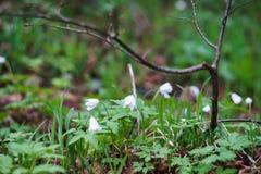 Fleurs des perce-neige dans Taganay Photographie stock libre de droits
