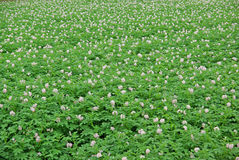 Fleurs des pommes de terre Photo stock