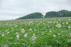 Fleurs des pommes de terre Photo libre de droits