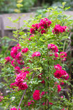 Fleurs des roses s'élevantes Photo libre de droits