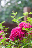 Fleurs des roses s'élevantes Image libre de droits