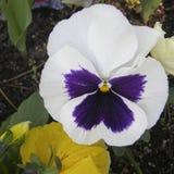 Fleurs des violettes images stock