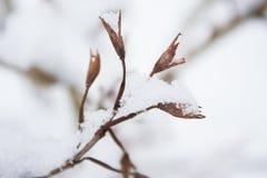 Fleurs desséchées d'un arbuste boisé Photo stock