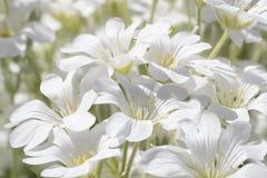 Fleurs doucement blanches en gros plan sur un soleil lumineux Image libre de droits