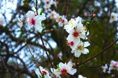 Fleurs douces blanches d'arbre d'amande, macro photos stock
