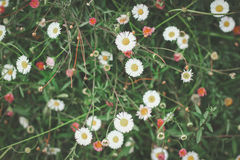Fleurs douces de cosmos Images libres de droits
