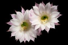 Fleurs du cactus Echinopsis Oxygona Image libre de droits