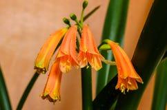 Fleurs du clivia Images stock
