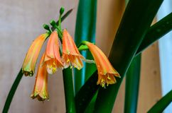 Fleurs du clivia Photographie stock