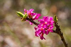 Fleurs du daphne de février, mezereum de Daphne dans la floraison photographie stock