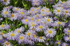 Fleurs du jardin Fleabane ou de speciosus d'Erigeron de Fleabane de pré photographie stock