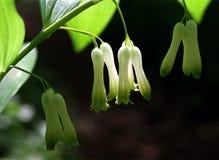 Fleurs du joint de Solomon au printemps Image stock