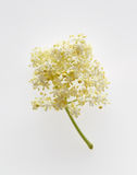 Fleurs du nigra plus âgé de Sambucus Photo stock