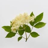 Fleurs du nigra plus âgé de Sambucus Photos stock