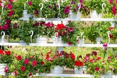 Fleurs du pétunia Photographie stock