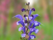 Fleurs du plan rapproché de Salvia d'usine Photo stock