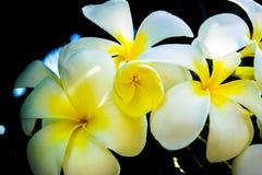 Fleurs du plumeria - macro à un fond foncé Image stock