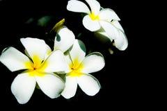 Fleurs du plumeria - macro à un fond foncé Images libres de droits