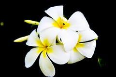 Fleurs du plumeria - macro à un fond foncé Photographie stock