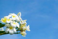 Fleurs du plumeria - macro au fond de ciel bleu Image stock
