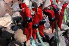 Fleurs du pois de désert indigène australien de Sturts Photographie stock